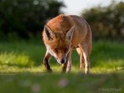 Fox head-on 1