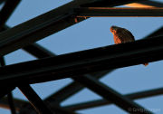 Kestrel perched on pylon
