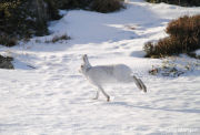 Mountain hare running in the snow