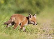 Shy fox cub