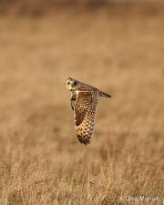 Short eared owl in flight 4