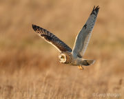 Short-eared owl in flight 3