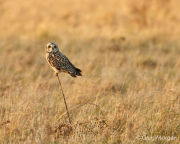 Short eared owl perched on stick