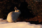 Mountain hare in evening light