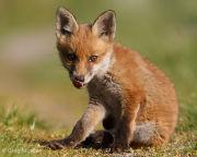 Fox cub licking his nose