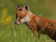 Fox cub profile