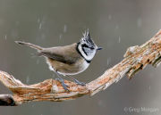 Crested tit in the rain