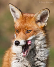 Fox licking her lips