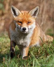 Fox head-on 2