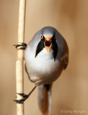 Bearded tit head-on