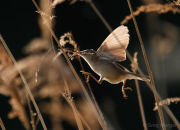 Backlit reed warbler in flight 1