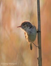 Reed warbler perched 1