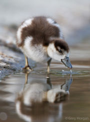 Egyptian gosling reflection