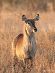 Waterbuck (female)