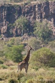 Giraffe in landscape