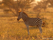 Zebra foal in morning light