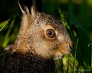 Leveret close-up