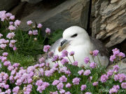 Fulmar nesting among thrift