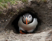 Puffin emerging from burrow
