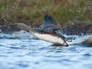 Red throated diver taking off