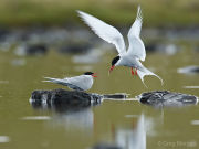 Arctic terns feeding