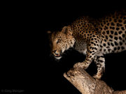 Night time leopard