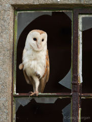 Barn owl perched in window frame 2