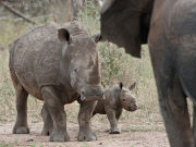 White rhino mother and calf confronting young bull elephant