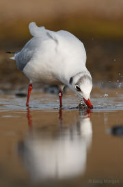 Black-headed gull drinking