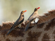 Oxpeckers on a giraffe's back