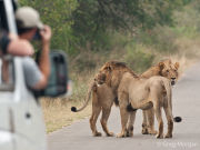 Young male lions being photographed by tourists