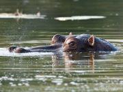 Snorting hippo