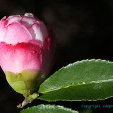 Flowers 057