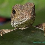 Lizard 06 1