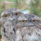 Owl 19a