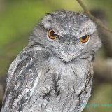 Owl 29