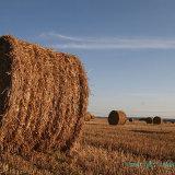 Charente harvest