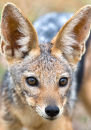 Young black-backed jackal