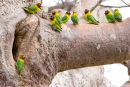 Yellow-collared lovebirds in baobab tree, Tanzania