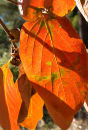Autumn Persimmon leaves, Ibiza