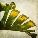 Knysna Leaf
