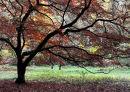 Acer tree in autumn. Westonbirt Arboretum