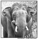 Asian Elephant 1