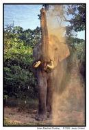 Asian Elephant Dusting