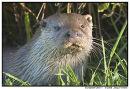 European Otter 1