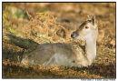 Fallow Deer 2
