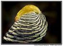 Golden Pheasant Displaying