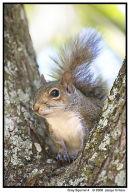 Grey Squirrel 4
