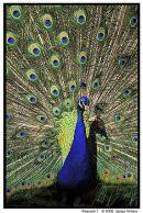 Peacock Displaying 1
