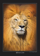 Series 1 - African Lion